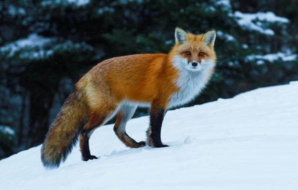 Фото обои лисица, лиса, снег, рыжая, зима