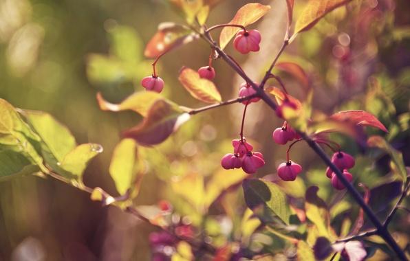 Картинка осень, листья, макро, свет, ветки, лист, блики, ягоды, ветви, листва, ветка, размытость