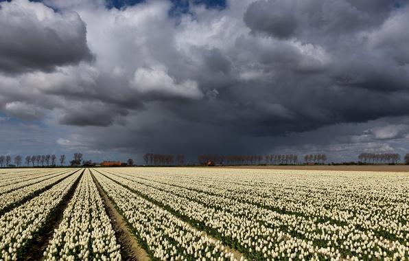Картинка поле, небо, пейзаж, тучи, тюльпаны