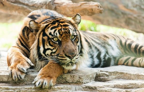 Картинка морда, тигр, отдых, хищник, лапы, дикая кошка