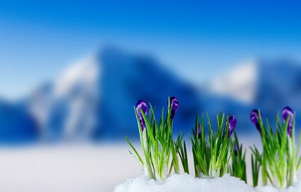 Картинка весна, крокусы, цветение, flowers, mountain, snow, spring, crocus