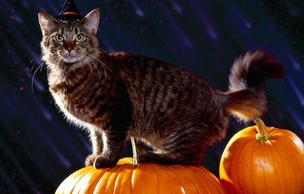 Фото обои тыквы, halloween, праздник, кот