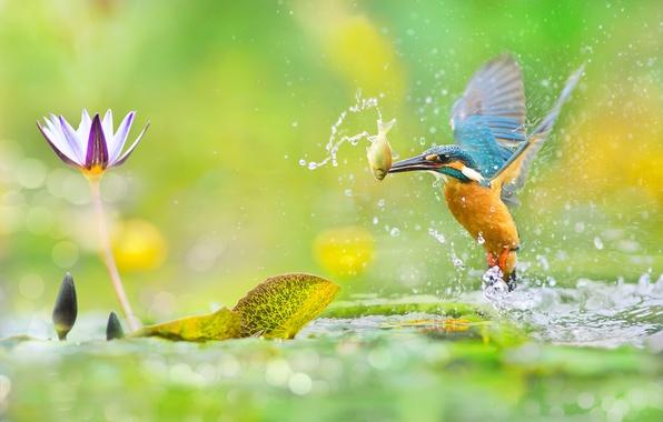 Картинка зелень, цветок, листья, вода, макро, брызги, блики, птица, рыбка, фотограф, Тайвань, боке, добыча, зимородок, красочная, …