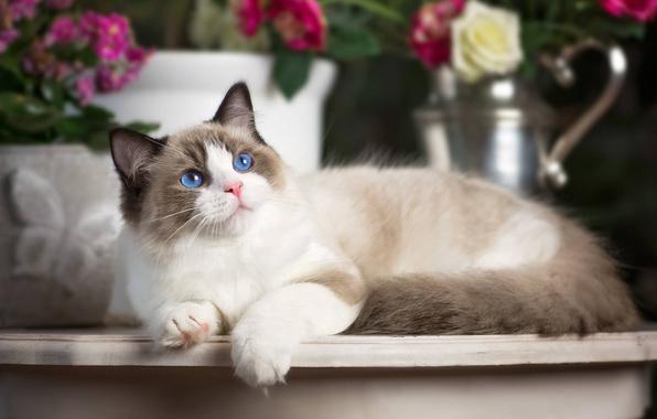 Картинка кошка, взгляд, голубые глаза, Рэгдолл