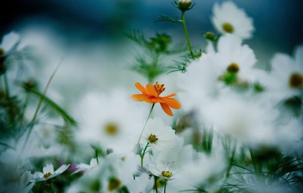 Картинка белый, лето, трава, цветы, оранжевый, стебли, поляна, растения, лепестки, размытость, цветение, космея