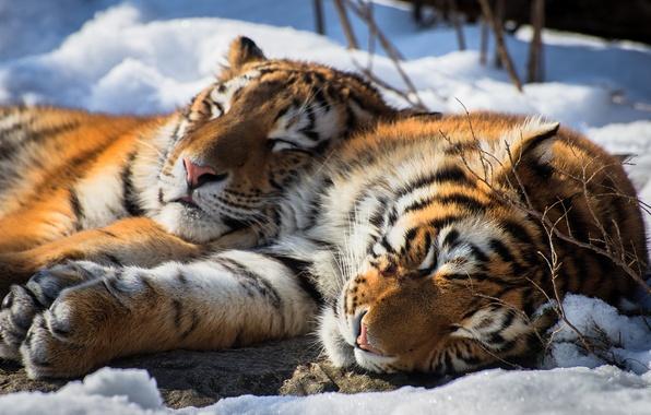Картинка tiger, snow, animal, siberian