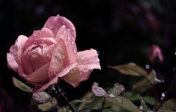 Картинка цветок, листья, вода, капли, макро, роса, дождь, розовая, роза, красота, лепестки, бутон