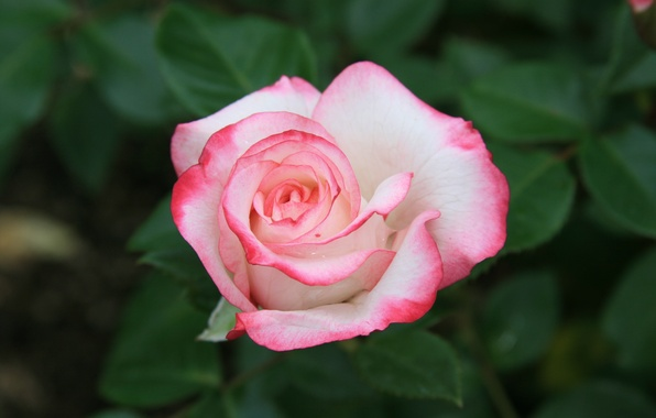 Картинка цветы, природа, розы, красота, утро, розовые