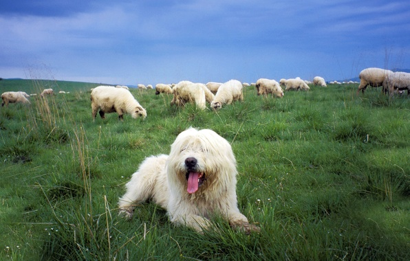 Картинка овцы, собака, пастбище, Sheepdog, польская низинная овчарка