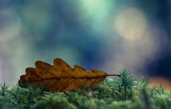 Картинка осень, макро, лист, мох, сухой, боке, Ноябрь