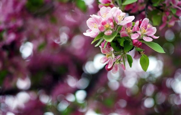 Картинка цветы, цвет, ветка, весна, май, яблоня, боке