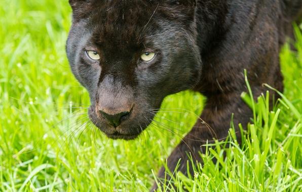 Картинка кошка, трава, взгляд, морда, пантера, леопард