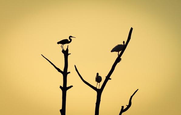 Картинка птицы, ветки, дерево, силуэт