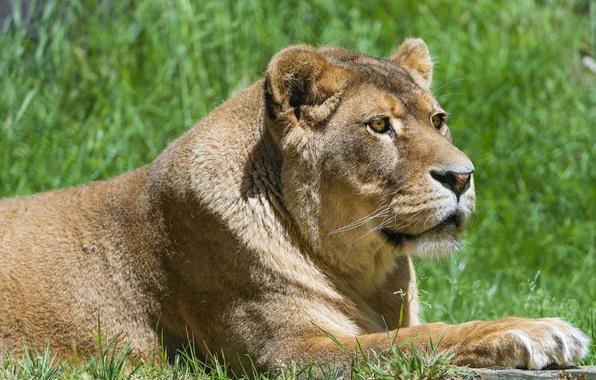Картинка lion, body, head, feline