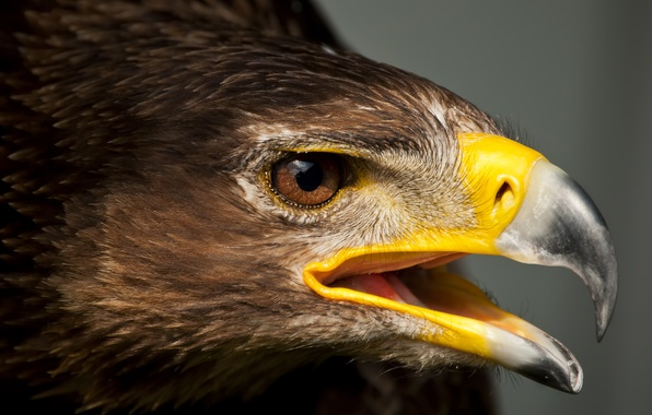 Картинка птица, орел, хищник, голова, перья, клюв
