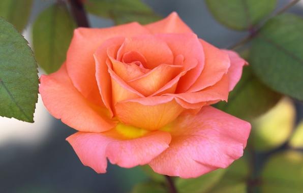 Картинка листья, фон, роза, желто-розовая