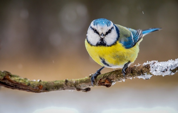 Картинка зима, птица, цвет, ветка, перья, синица