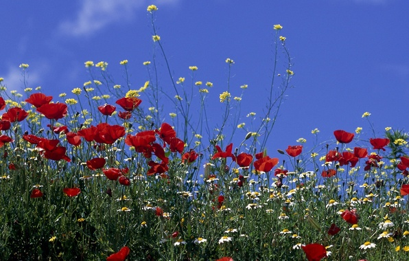Картинка поле, небо, солнце, цветы, маки, ромашки