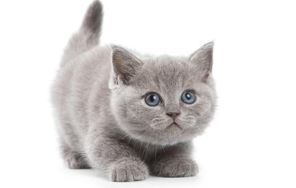 Картинка кот, серый, белый фон, котёнок