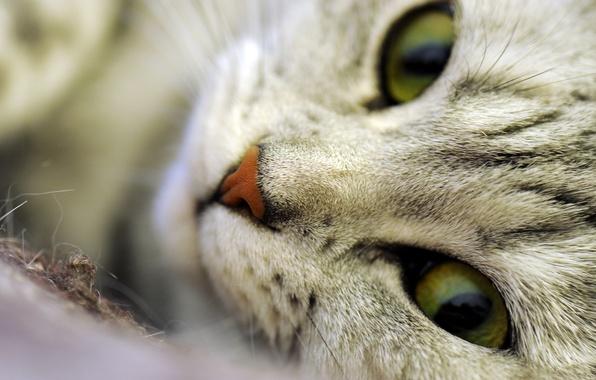 Картинка кошка, глаза, кот, усы, морда, макро, волоски, шерсть, нос