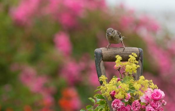 Картинка цветы, птица, розы, воробей, рукоятка, боке