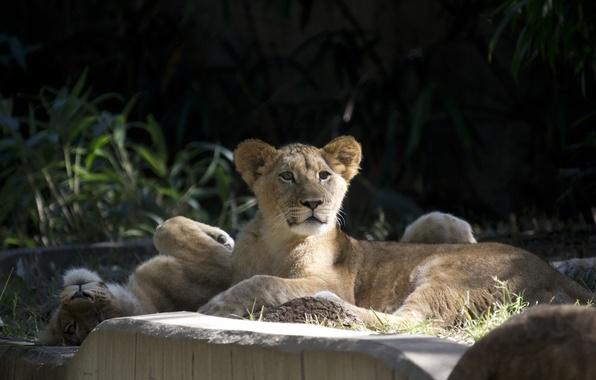 Картинка отдых, семья, пара, дикие кошки, львята, зоопарк, детеныши