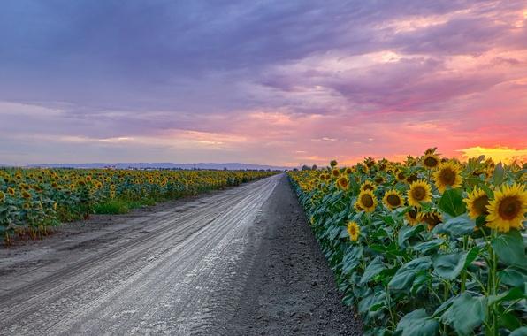 Картинка дорога, подсолнухи, закат