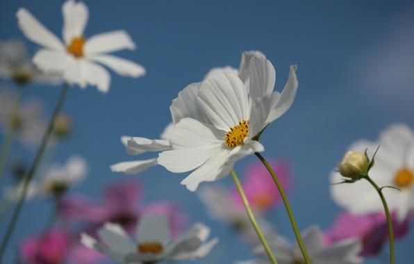 Картинка лето, небо, цветы, природа, лепестки, цветение, космея