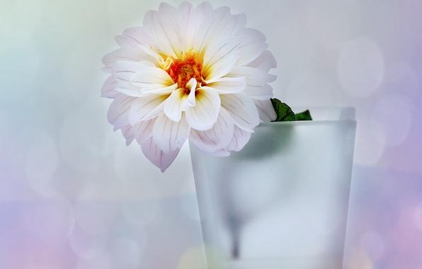 Картинка белый, цветок, блики, фон, ваза, георгин
