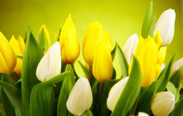Картинка листья, цветы, зеленый, фон, весна, желтые, тюльпаны, белые, бутоны