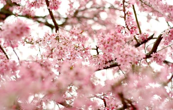 Картинка небо, деревья, цветы, ветки, природа, вишня, ветви, нежность, красота, весна, лепестки, размытость, сакура, розовые, цветение