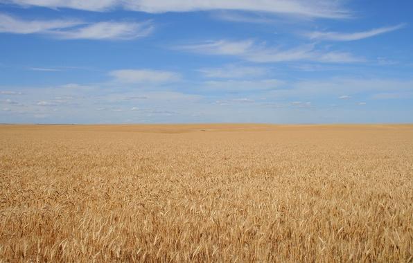 Картинка поле, небо, фон, зерно, спокойствие