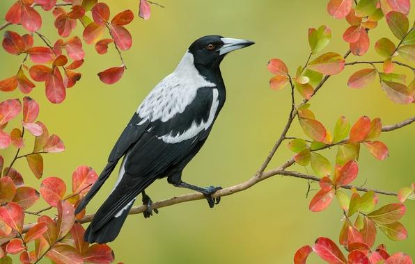 Картинка осень, листья, птица, ветка, австралийская сорока, Cracticus tibicen