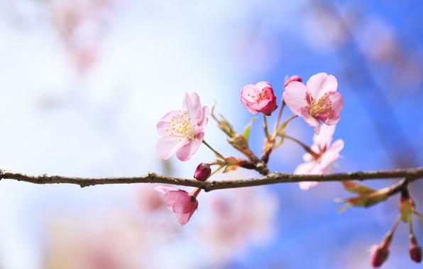 Картинка цветы, вишня, дерево, ветка, весна, цветение