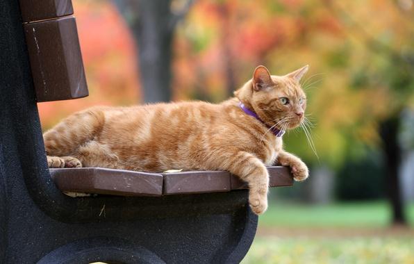 Картинка осень, кот, скамейка, рыжий, боке, рыжий кот