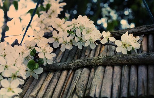Картинка макро, вишня, блики, дерево, ветка, весна, палочки, размытость, белая, кора, цветение