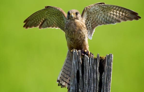 Картинка птица, крылья, хищник