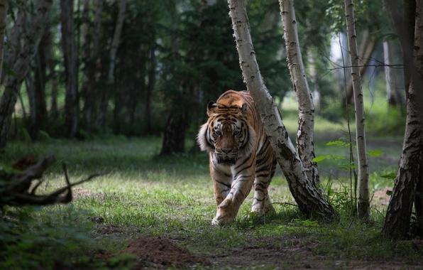 Картинка лес, тигр, хищник, дикая кошка