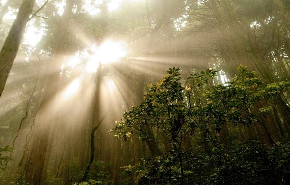 Картинка лес, лето, лучи, деревья, природа, туман, фото, утро, кусты