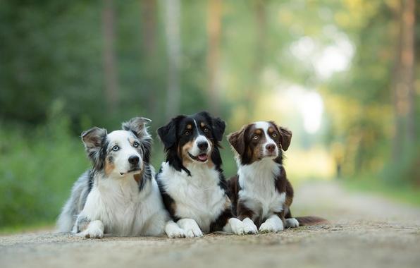 Картинка собаки, трио, Австралийская овчарка, троица, Аусси