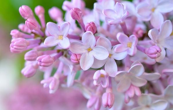 Картинка макро, цветки, сирень, соцветие