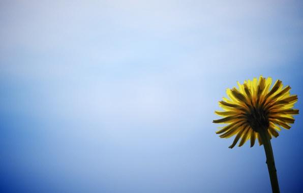 Картинка цветок, цветы, желтый, фон, голубой, widescreen, обои, wallpaper, широкоформатные, background, полноэкранные, HD wallpapers, цветочек, широкоэкранные, …