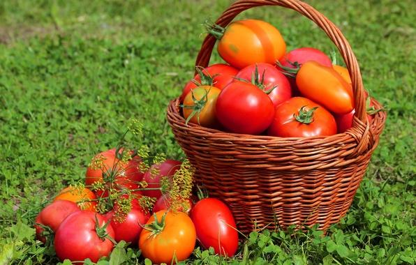 Картинка трава, корзина, урожай, плоды, помидоры, томаты