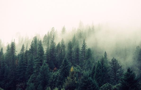 Картинка лес, туман, Природа, красота, сосны, ёлки