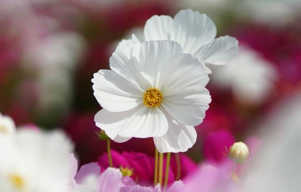 Картинка макро, цветы, розовые, белые, полевые, космея