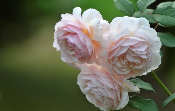 Картинка фон, розы, трио, бутоны