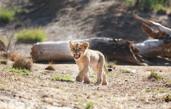 Картинка хищник, маленький, малыш, пасть, детёныш, дикая кошка, львёнок