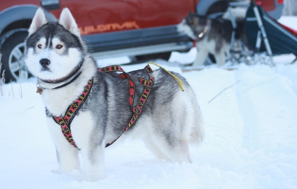 Картинка зима, собаки, хаски