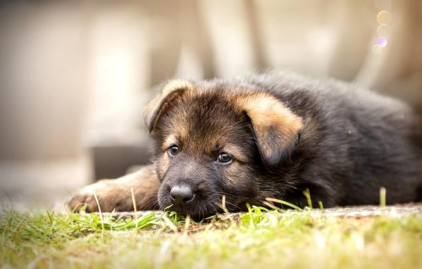 Картинка взгляд, собака, щенок, Немецкая овчарка