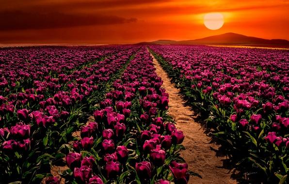 Картинка поле, закат, цветы, тюльпаны, Турция, Turkey, Konya, Конья, Чумра, Cumra